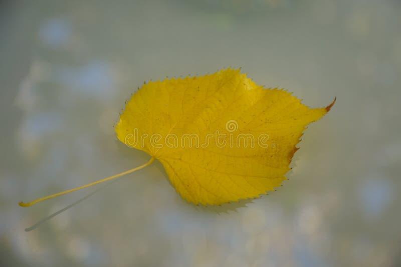 Gefallen am Ende des Herbstes mit einem Baum von Espengelb einzelnes s stockbild