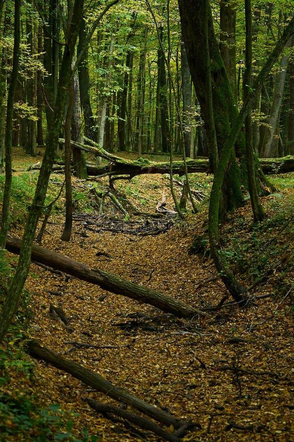 Gefallene Bäume in einer Schlucht in einem Herbstwald stockfotos