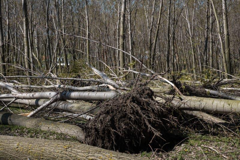 Gefallene Bäume nach Windsturm stockbilder