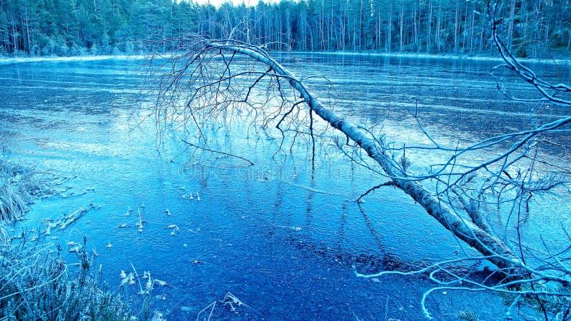 Gefallene Birke auf Eis lizenzfreies stockfoto