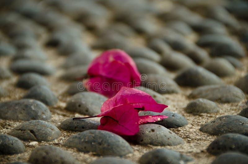 Gefallene Blüte einer magentafarbenen九重葛auf dem Pflaster 库存图片