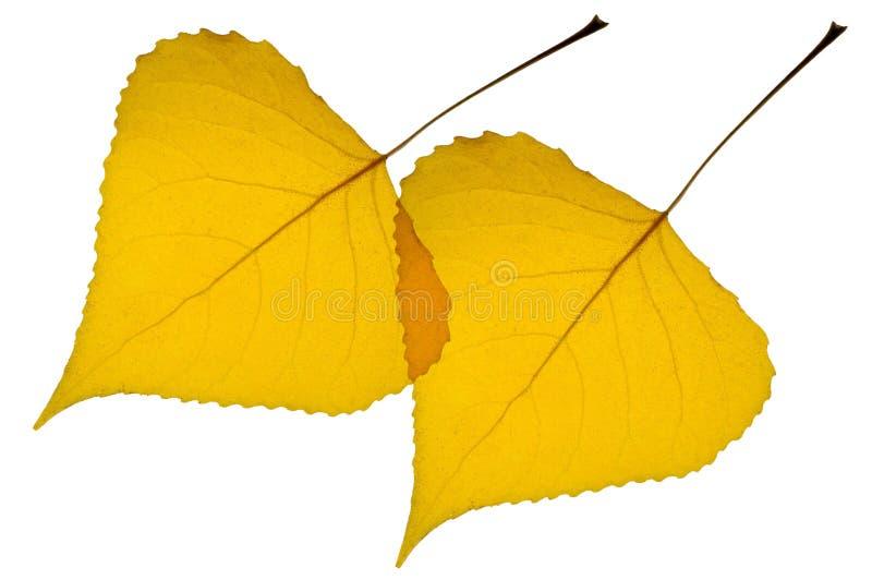 Gefallene Pappelblätter zurück beleuchtet stockbild