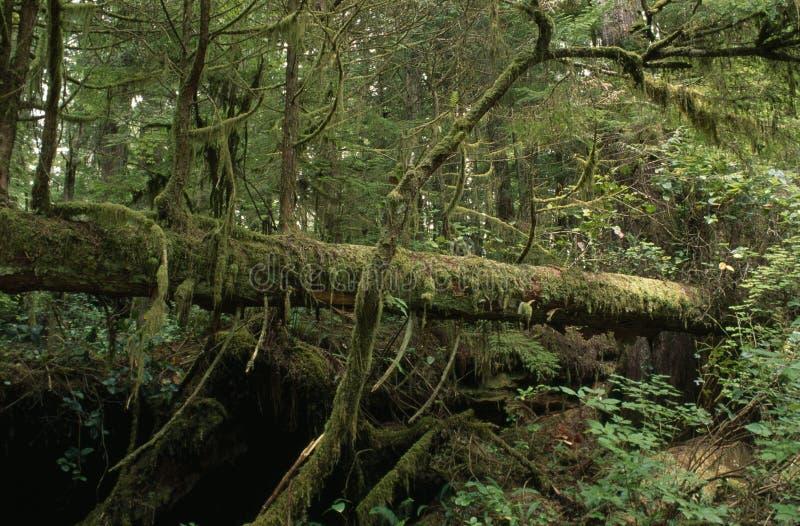 gefallener Baum in einem Regenwald lizenzfreie stockfotos