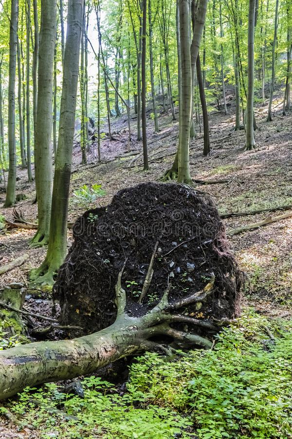Gefallener Baum im Laubwald, wenige Karpaten, Slowakei lizenzfreie stockbilder