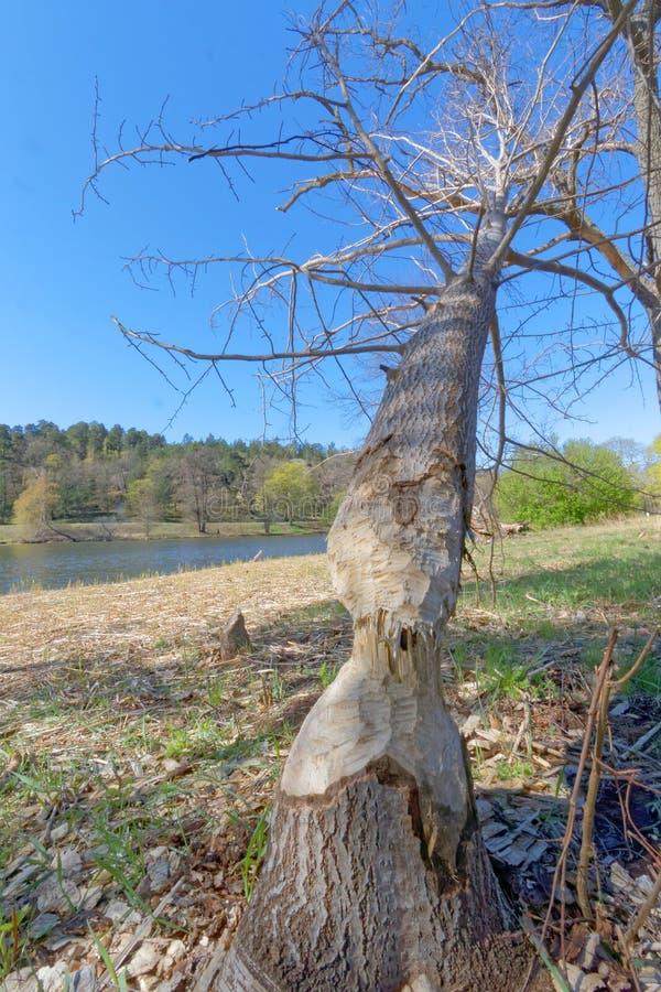 Gefallener Baum wegen eines zerfressenden Bibers lizenzfreies stockfoto