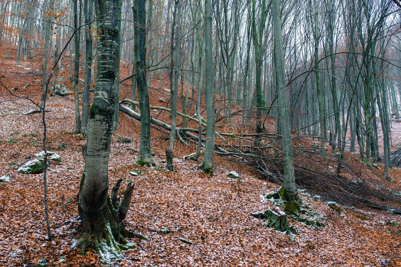 Gefallener Buchenbaum im laubwechselnden Holz an der Winterzeit stockfotos
