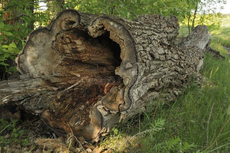 Gefallenes Baum-Kabel Alter Baum Der sehr alte Stamm des Baums Gebrochenes Holz Totes Holz Schließen Sie herauf eine alte Stumpfm lizenzfreies stockfoto