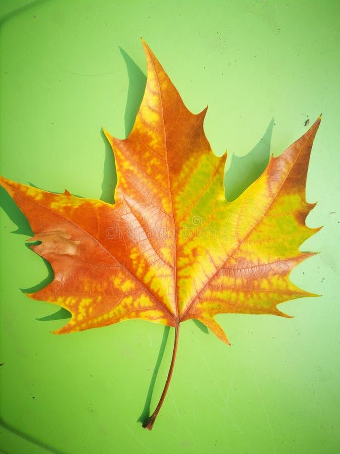 Gefallenes Phoenix-Baumblatt, das auf grünem Brett liegt lizenzfreie stockfotografie