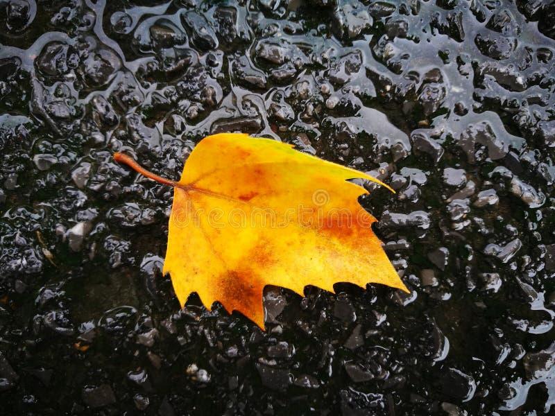 Gefallenes Phoenix-Baumblatt, das auf nassem Boden liegt stockfoto