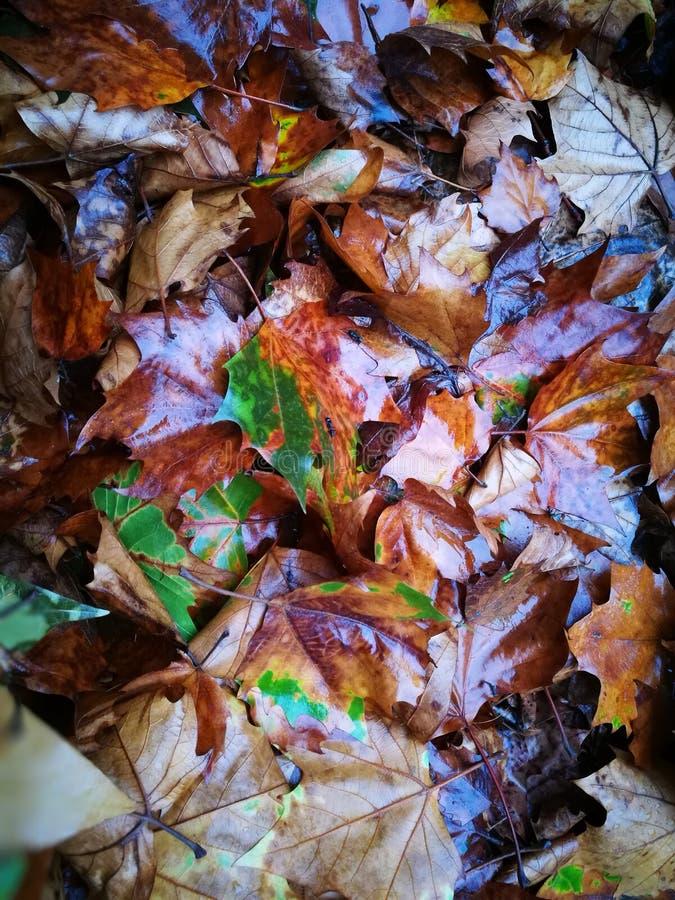 Gefallenes Phoenix-Baumblatt, das auf nassem Boden liegt stockbilder