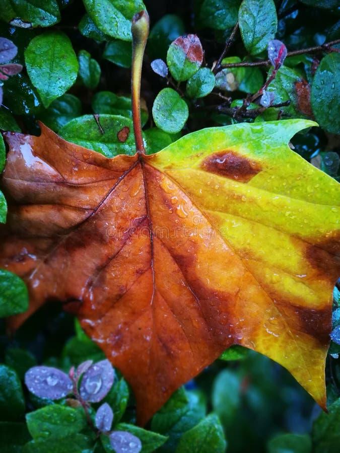 Gefallenes Phoenix-Baumblatt, das auf nassem Boden liegt lizenzfreies stockfoto