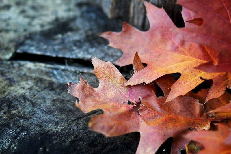 Gefallenes Pin Oak lässt Hintergrund lizenzfreies stockbild
