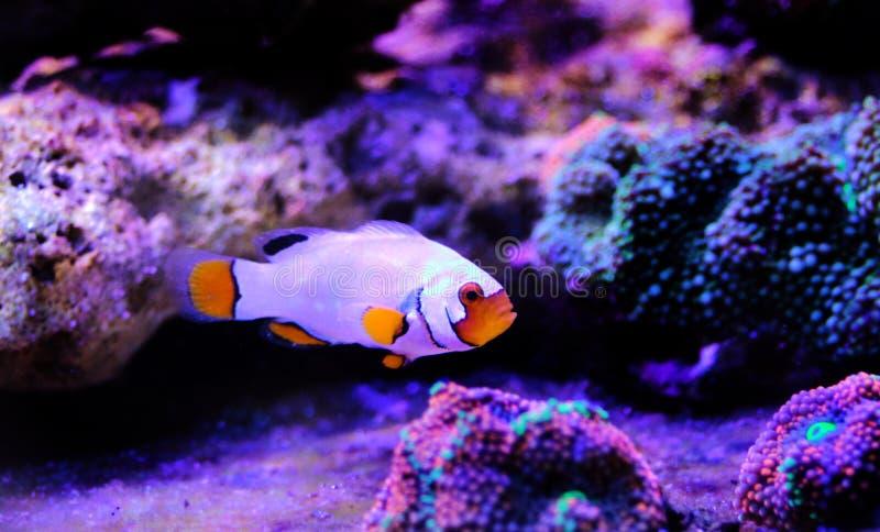 Gefangen-gezüchtete extreme Schnee Onyx Clownfish - Amphriprions-ocellaris x Amphriprion percula lizenzfreies stockbild