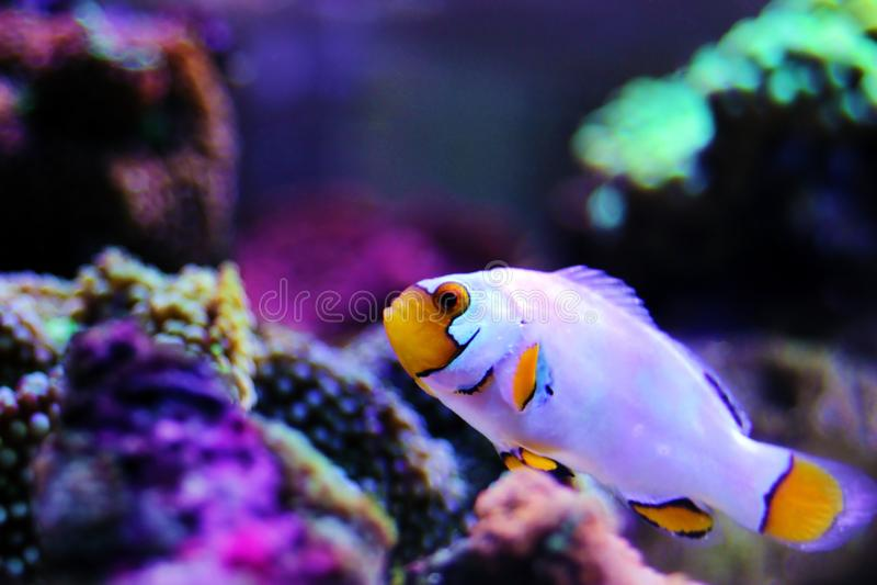 Gefangen-gezüchtete extreme Schnee Onyx Clownfish - Amphriprions-ocellaris x Amphriprion percula stockfotografie