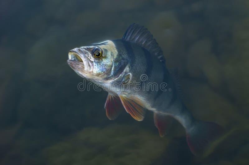 Gefangene Stangenfischtroph?e im Wasser Fischenhintergrund lizenzfreies stockbild