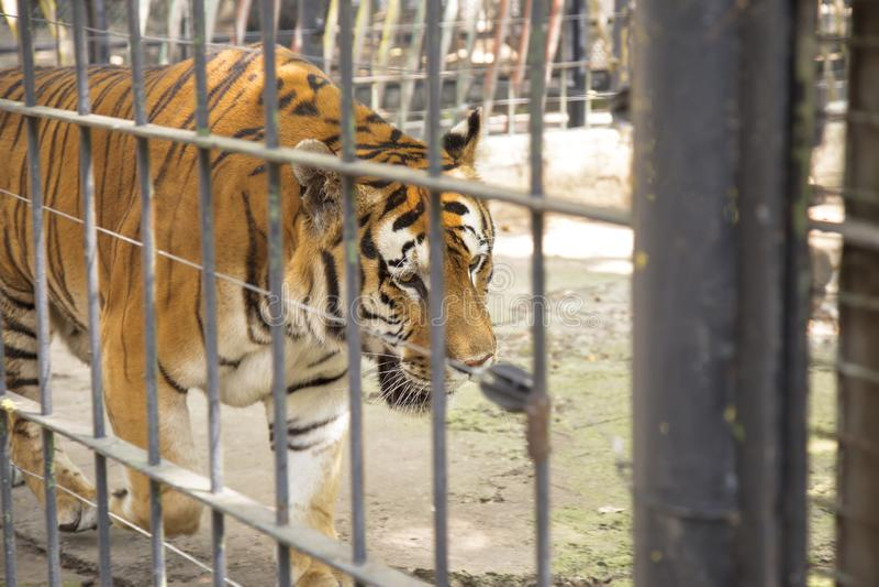 Gefangener des sibirischen Tigers am Zoo lizenzfreies stockbild