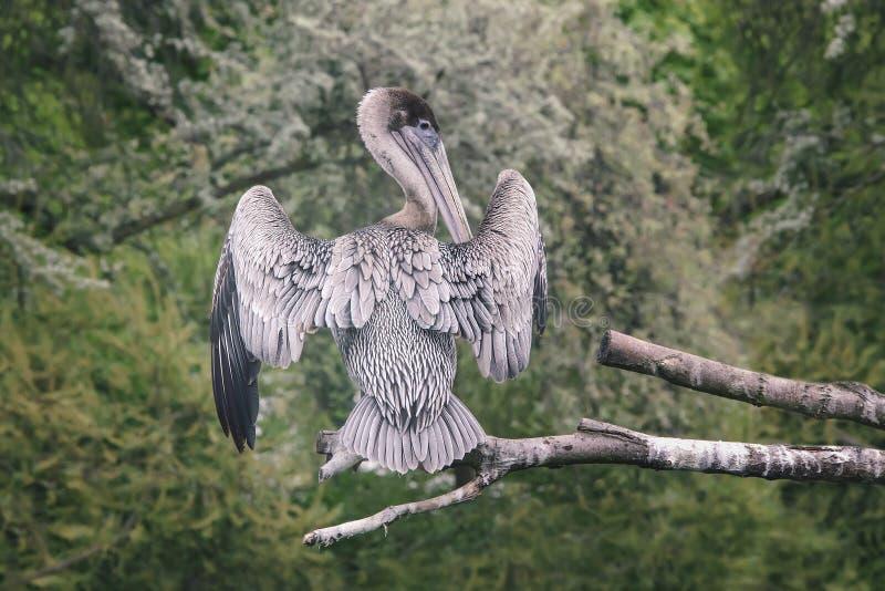 Gefieder des grauen Weiß des Pelikans mit dem breiten Flügelverbreiten sitzt auf einem t stockbild