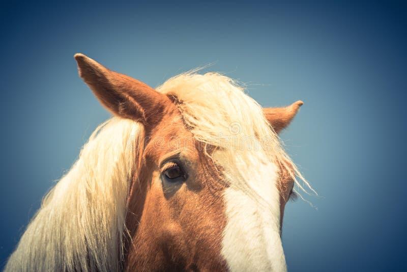 Gefiltertes sch?nes Auge des Bildes von Holland Draft Horse-Nahaufnahme lizenzfreie stockfotos