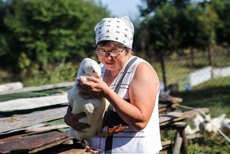 Geflügelfarm - Fütterungsgänse einer Frau stockfotos