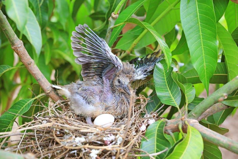 Gefl?gelter neugeborener Vogel und das ein Ei im Nest des Vogels auf Baumast stockbilder