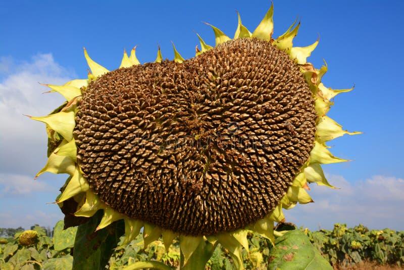 Geformte Sonnenblume des Herzens lizenzfreie stockfotos