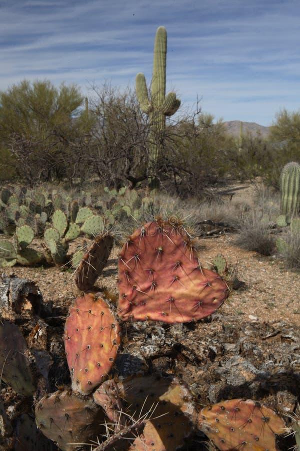Geformter Kaktus des Herzens am Saguaro lizenzfreie stockfotos