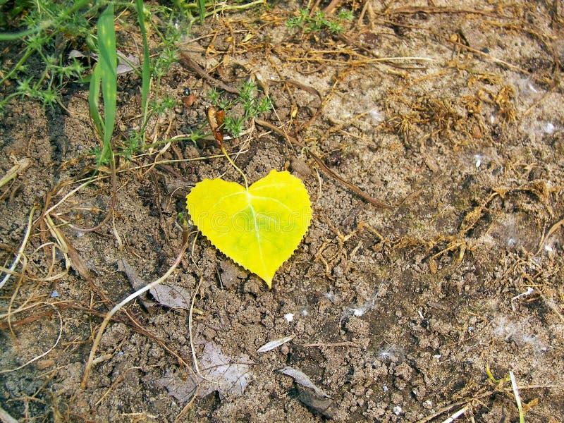 Geformtes Pappelblatt des gelben Herzens stockfoto