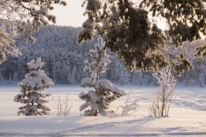 Gefrorene Bäume im Winter, auf Schwedisch Lappland stockfotografie
