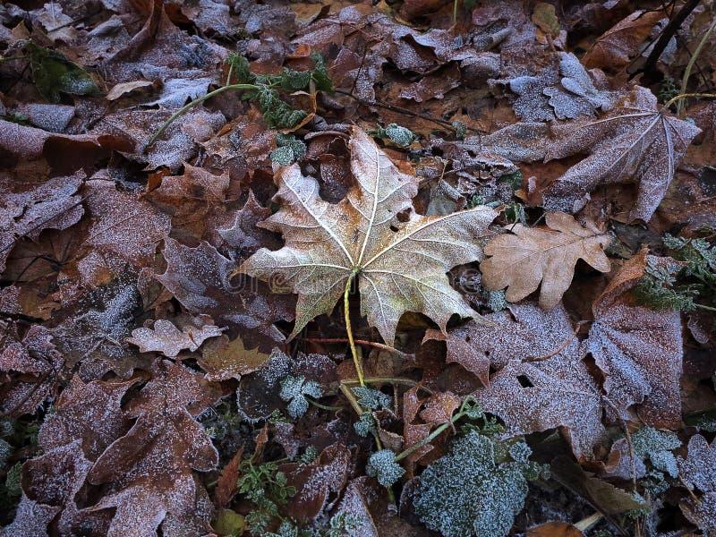 Gefrorene Blätter im Hoar lizenzfreies stockbild