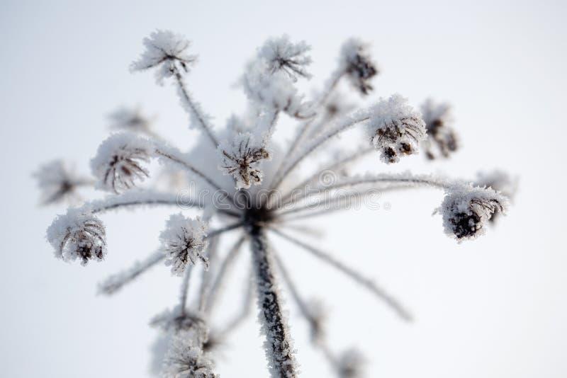 Download Gefrorene Blume stockfoto. Bild von betrieb, zweig, schneeflocke - 12201536