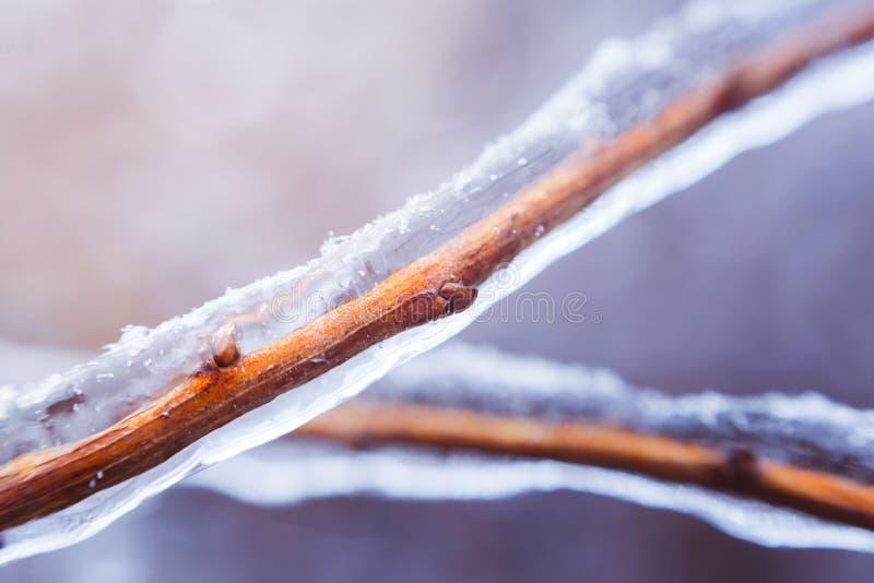 Gefrorene Buschniederlassung während des Winters mit der starken Schicht Eis Niederlassungen umfassend stockfoto