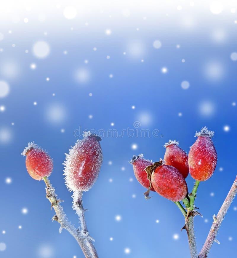 Gefrorene Hagebutten und schneebedeckter Hintergrund lizenzfreies stockfoto