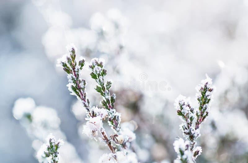 Gefrorene Heideblume stockbild