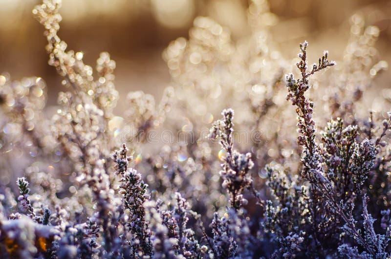 Gefrorene Heideblume lizenzfreie stockbilder