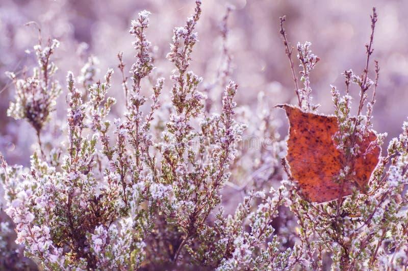 Gefrorene Heideblume stockfotos