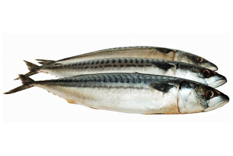 Gefrorene Makrelen stockfotos