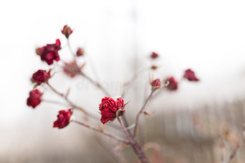 Gefrorene Rose stockfotografie