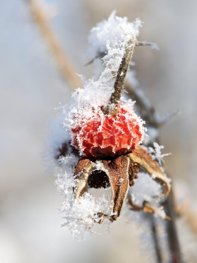 Gefrorene rote Beere im undeutlichen Hintergrund Weiße Schneeflocken auf einem blauen Hintergrund stockbild