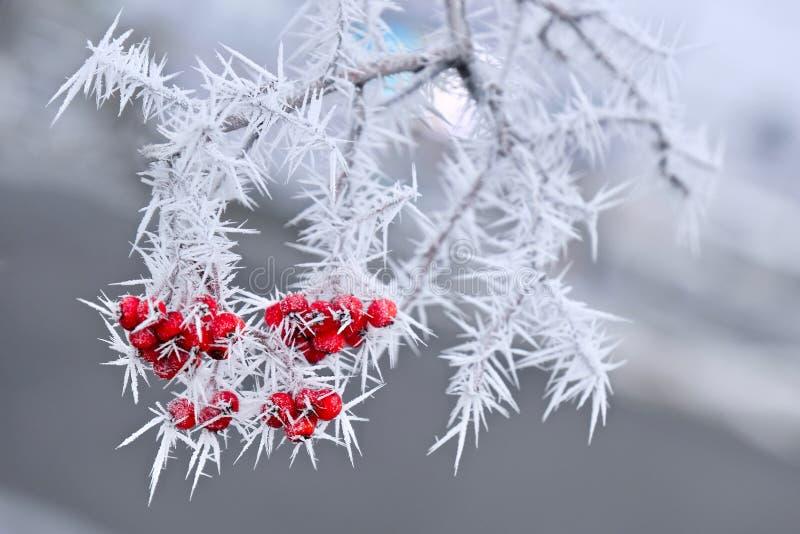 Gefrorene rote Beeren rowen an den Baum, der mit Frost bedeckt wird stockbilder