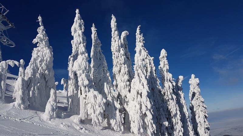 Gefrorene Tannenbäume in Charpatians Montains lizenzfreie stockbilder