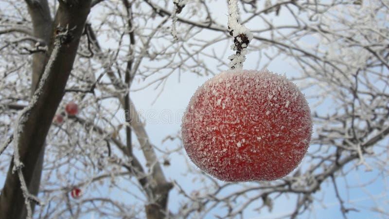 Gefrorener Apfel bedeckt mit Schnee auf einer Niederlassung im Wintergarten Makro von den gefrorenen wilden Äpfeln bedeckt mit Re stockfotos