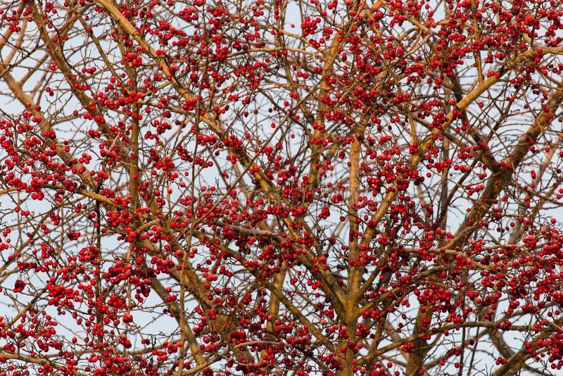 Gefrorener Brier auf Baum mit Himmel stockfoto