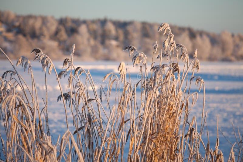 Gefrorener See und Schilf stockfoto