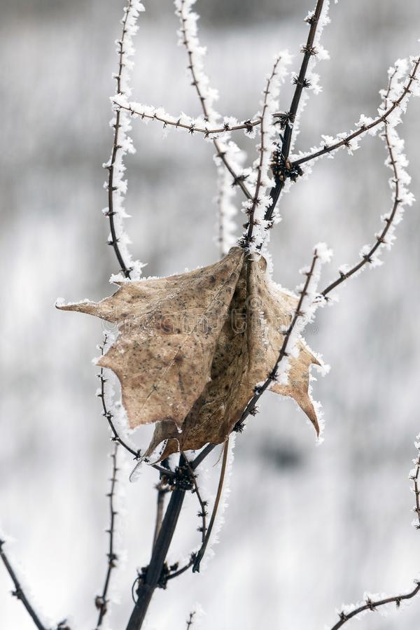Gefrorener Zweig bedeckt mit Kristallen des Eises mit einem toten trockenen Blatt im Winter lizenzfreie stockfotografie