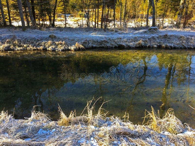 Gefrorenes Gras auf Flussbank mit Schwimmen vieler Forellenfische in der Kälte stockbilder