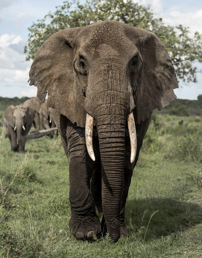 Gegenüberstellender Elefant, Serengeti stockfotos