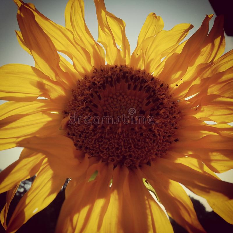 Sunny Sunflower royalty free stock image