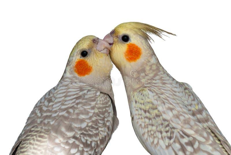 Gegenseitiges Putzen der Cockatiels stockbilder