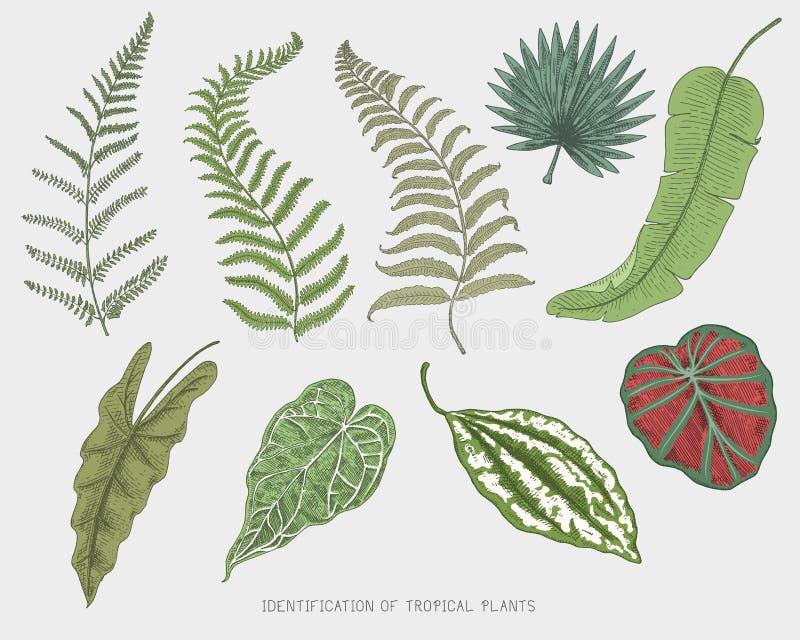 Gegraveerd, hand getrokken tropische of exotische geïsoleerde bladeren, blad van verschillende wijnoogst die installaties kijken  vector illustratie