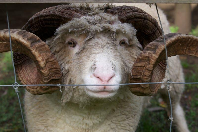 Gehörnte Schafe lizenzfreie stockfotografie